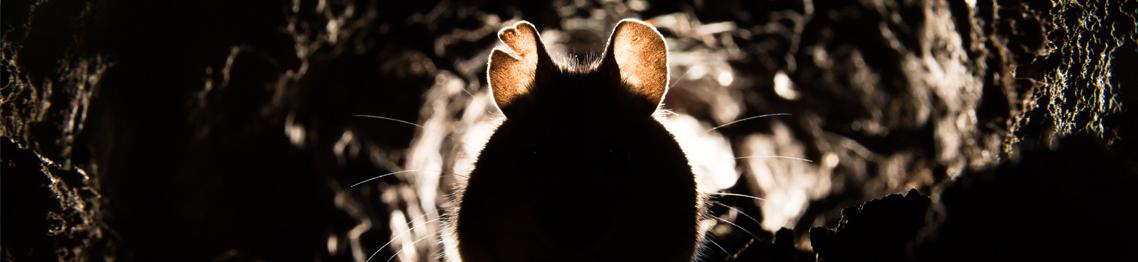 Rottebekæmpelse Del 1 - Forebyggelse og bekæmpelse af rotter (Aarhus)
